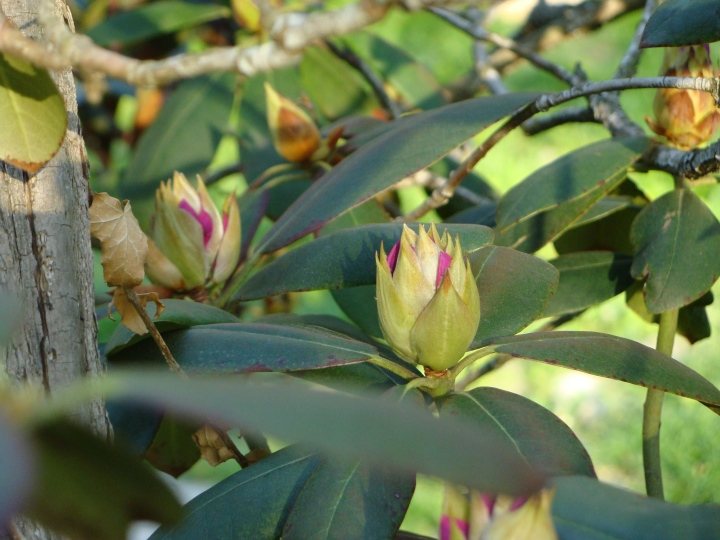 Rhododendron140510