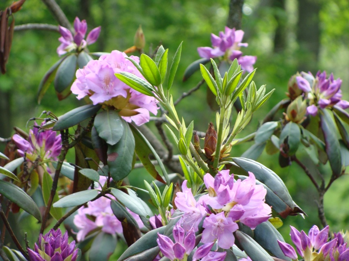 Rhododendron140520