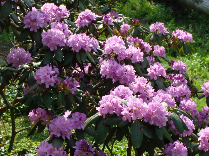 Rhododendron140520a