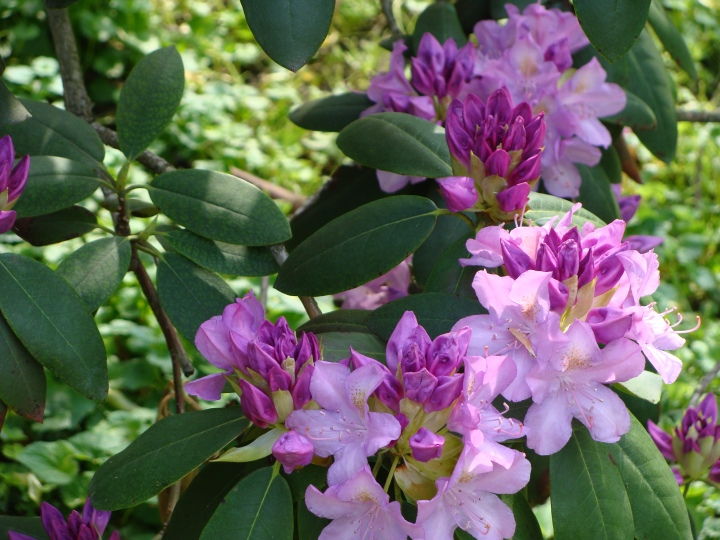 Rhododendron140520b