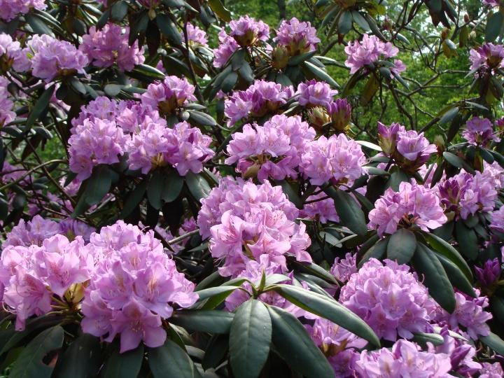 Rhododendron140520e
