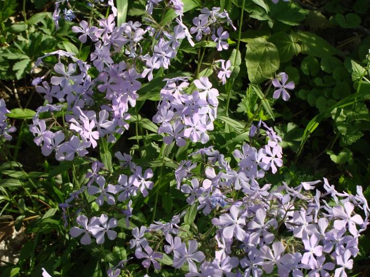 WoodPhlox_Lavender
