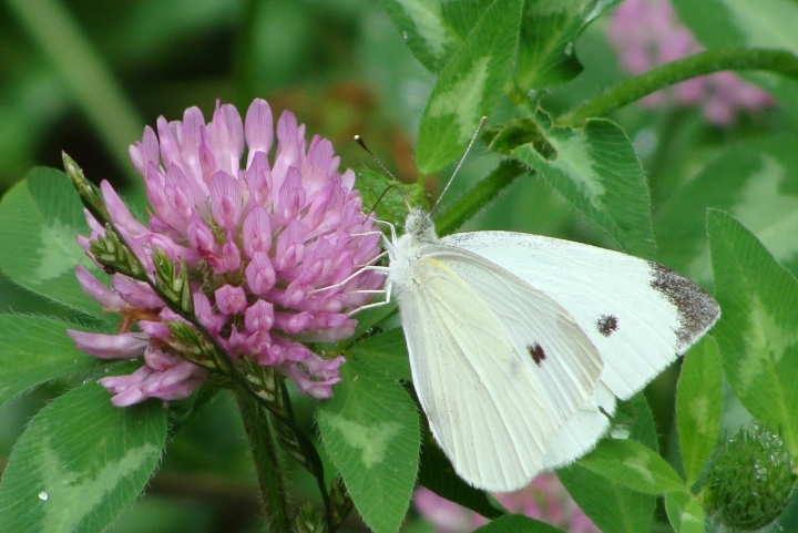 Cabbage Butterfly 03