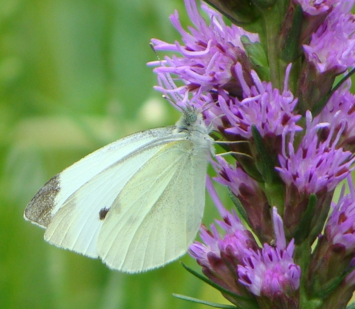 Cabbage Butterfly 07