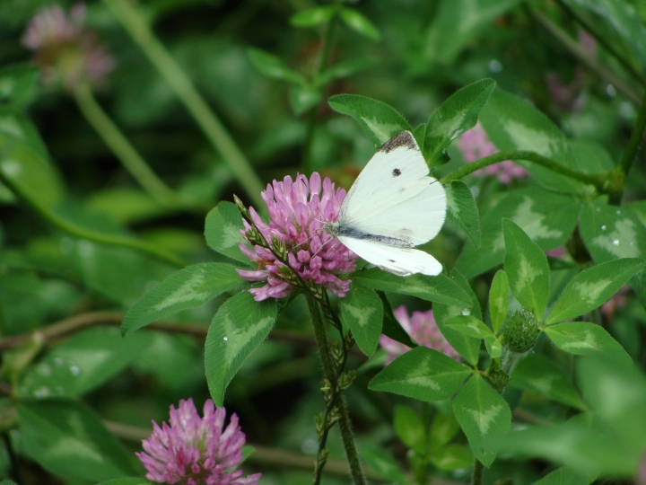 Cabbage Butterfly 08