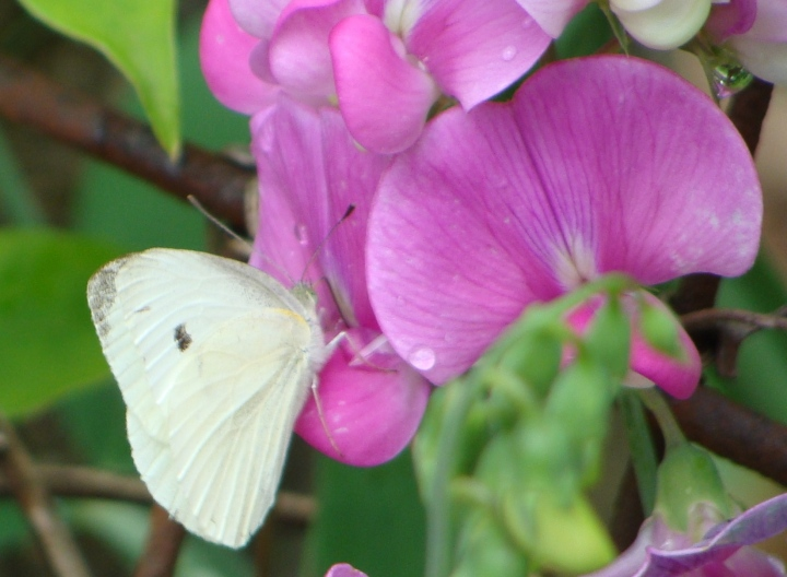 Cabbage Butterfly 09