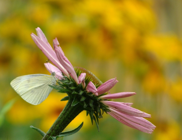 Cabbage Butterfly12