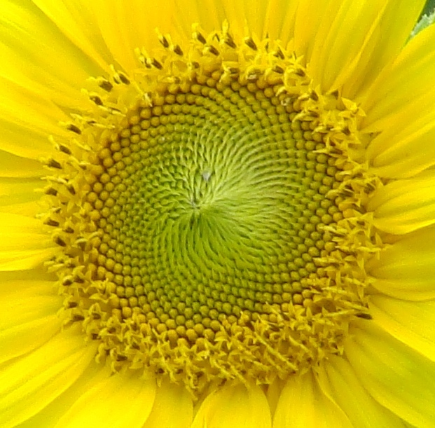 sunflower_seeds