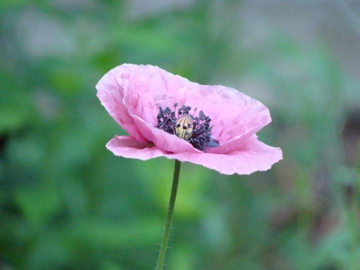 Poppy011