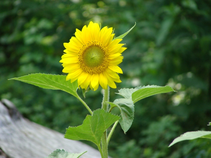 Sunflower01