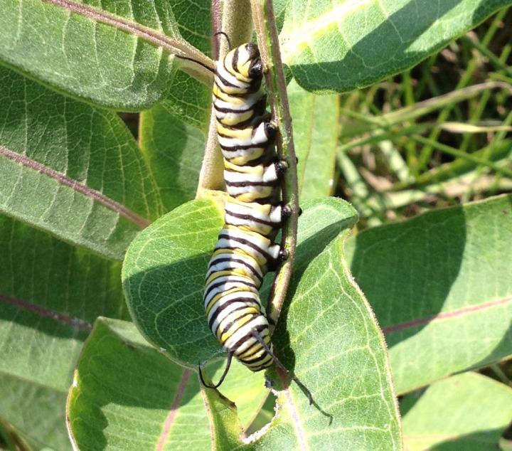 Caterpillar04
