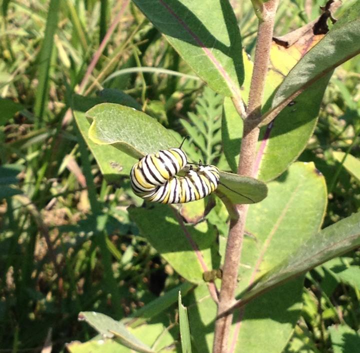 Caterpillar05