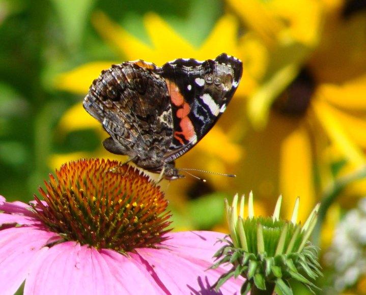 Butterfly09