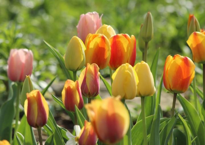 Tulips2017_05b