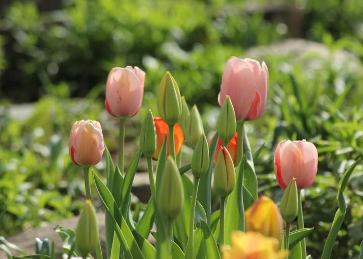 Tulips2017_06b